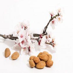 Almond Tree אילוסטרציה